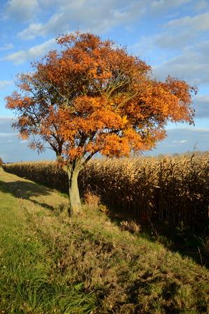 秋の間にトウモロコシ畑の横にある孤独な木