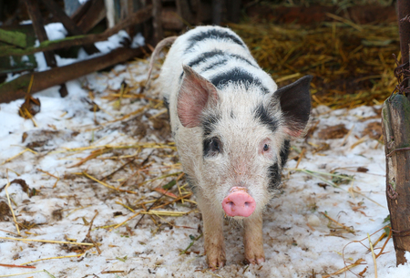 mini farm: Black and white pig on russian farm watching in camera