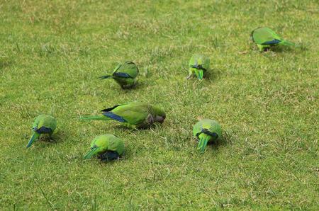 loros verdes: loros verdes en la hierba en el parque de Madrid Foto de archivo