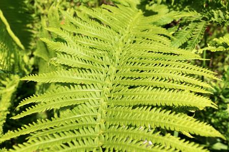fern leaf: Fresh green fern leaf Stock Photo