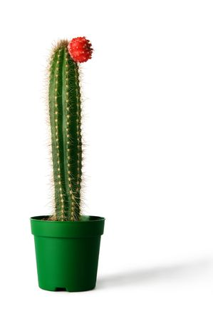 cactus flower: Cactus in flowerpot over white background