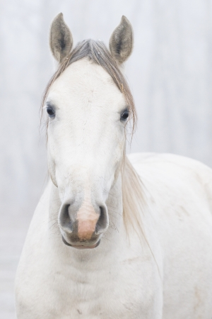 White horse portrait photo