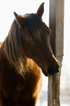 pasturage: Brown horse