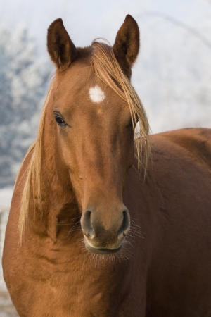Brown horse portrait II photo