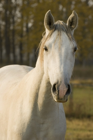 Gray horse II photo