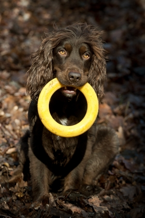 spaniel dog photo