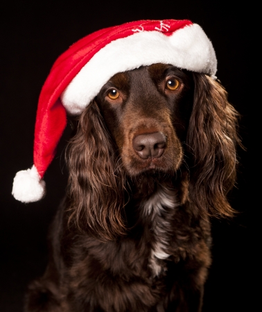 Santa spaniel cocker photo