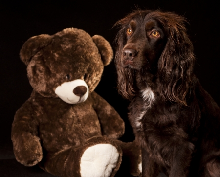 cocker: teddy bear & spaniel cocker