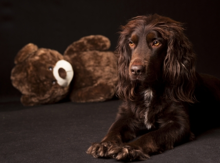 spaniel cocker and teddy bear photo