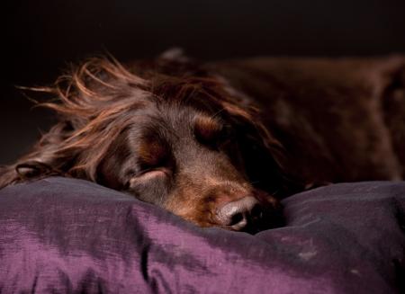 white pillow: sleeping dog