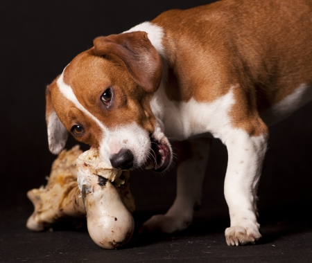 brown and black dog face: dog eating a bone Stock Photo