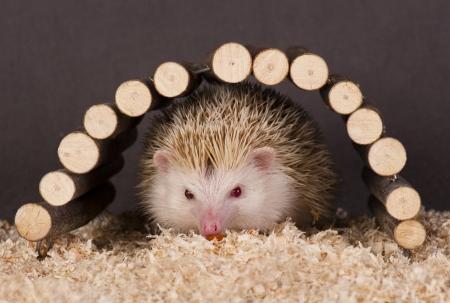 hedgehog 版權商用圖片