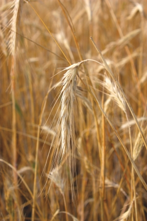 Ear of the wheat. Shallow DOF Stock Photo