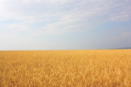 Field of the wheat Stock Photo