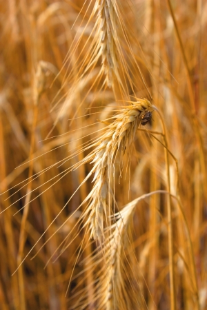 Ear of the wheat  Shallow DOF