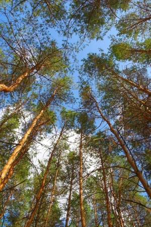 In summer forest with pines, view from below Stock Photo