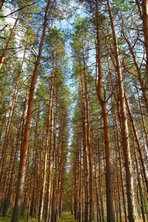 In the forest with pines, summer nature