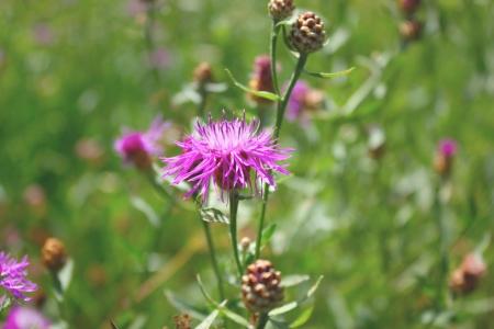 Blossom wild violet flower. Shallow DOF