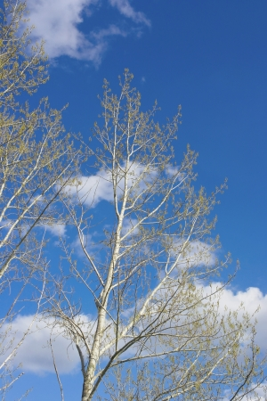 Spring poplar over blue sky with clouds