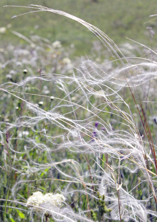 Feather grass on the field, shallow depth of image definition