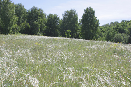 Feather grass on meadow in summer forest Stock Photo