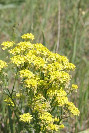 Yellow blossom flowers, shallow DOF