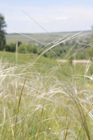 Feather grass on meadow