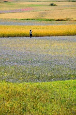 castelluccio: Castelluccio fields