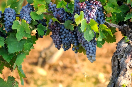 portugal agriculture: Grapes