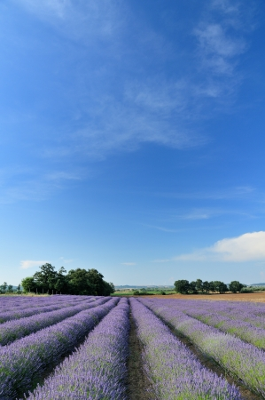 lavender fields photo