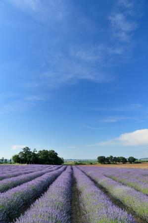 herbs de provence: lavender fields