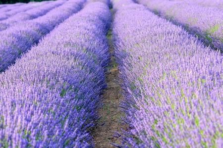 lavendin: lavander fields deils