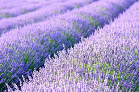 herbs de provence: lavander fields detail