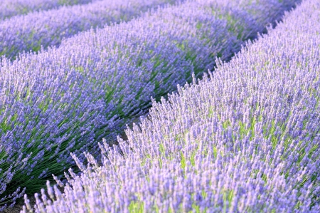 lavander fields detail photo