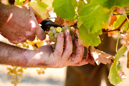 Closeup on bunch of grapes being picked from row Stock Photo