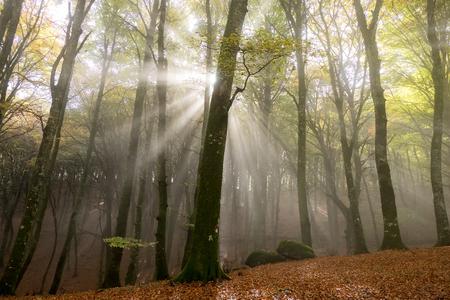 misty morning in foggy wood