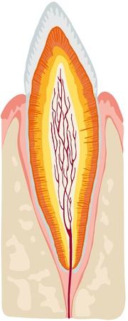 dental pulp: anatomy of the teeth Illustration