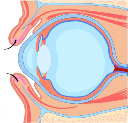 anatomy eye Vector
