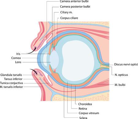anatomie oog Stock Illustratie