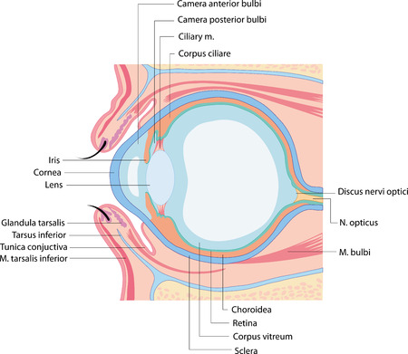anatomy eye