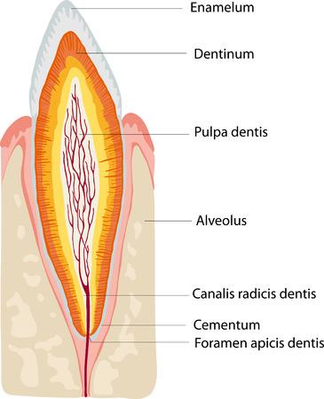 anatomie tand