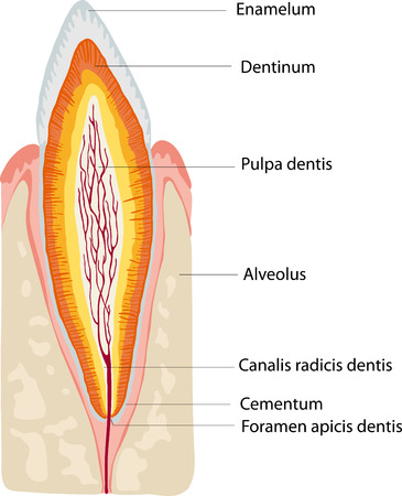 cementum: anatomy tooth
