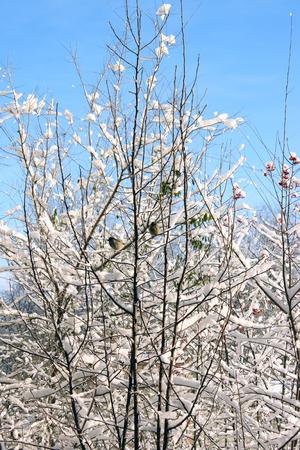 white winter trees Imagens