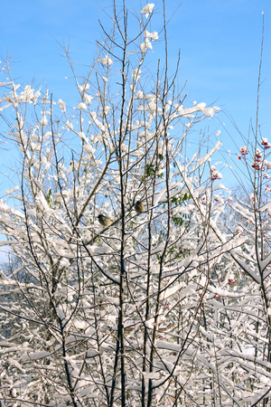 witte winter bomen Stockfoto