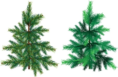 arbre     ? � feuillage persistant: Evergreen tree on a white background for design options