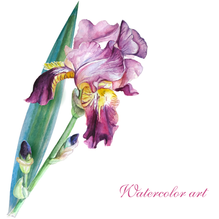 iris flower: Pink iris watercolor painting on white background handmade Illustration