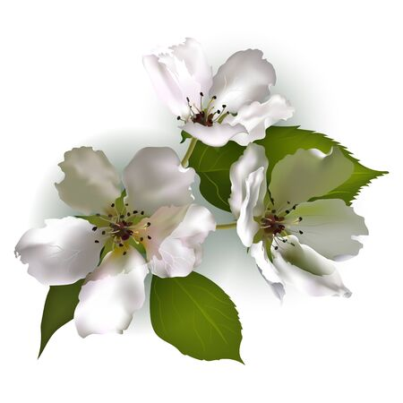 Realistic Apple blossoms on white background in color