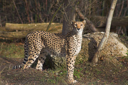 dangerouse: Cheetah standing and looking around