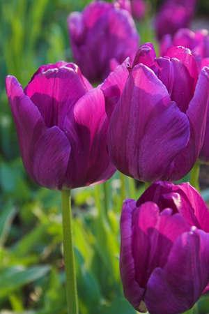 Violett tulips photo