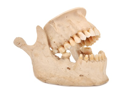 model of human teeth on a white background Stock Photo - 14036549
